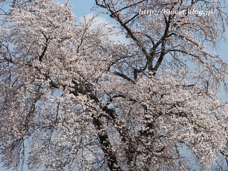 天空一本桜29