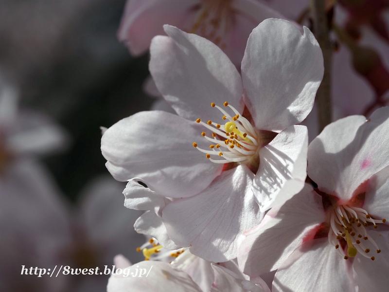 高遠桜39