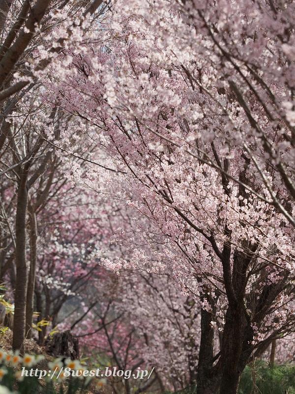 北熊井城址の桜15