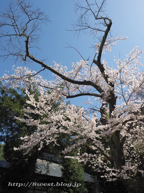 無量寺の桜02
