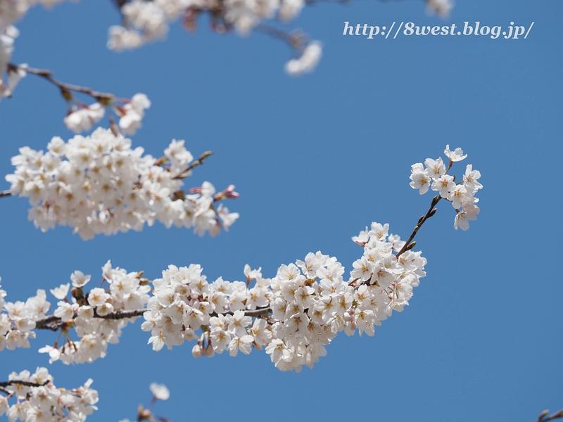 御野立桜08