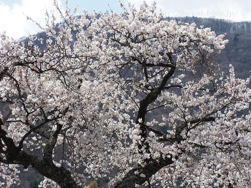 御野立桜01