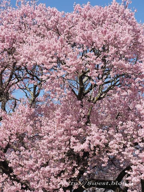 上ノ平の桜15