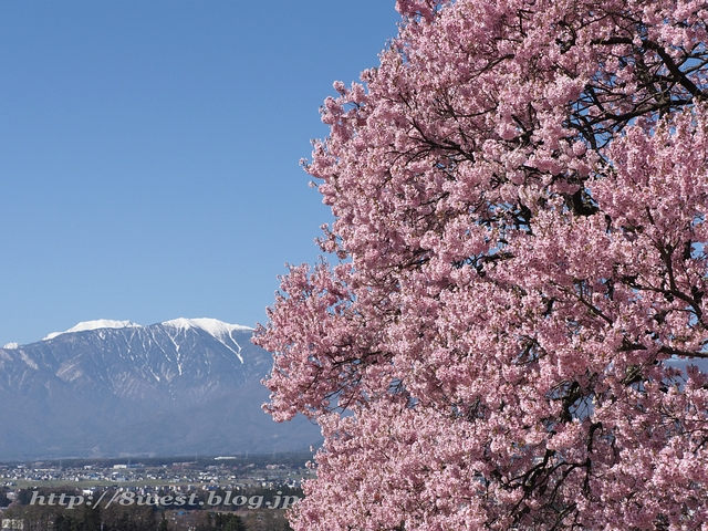 上ノ平の桜09