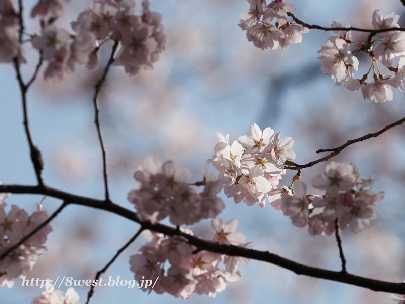 高遠桜47