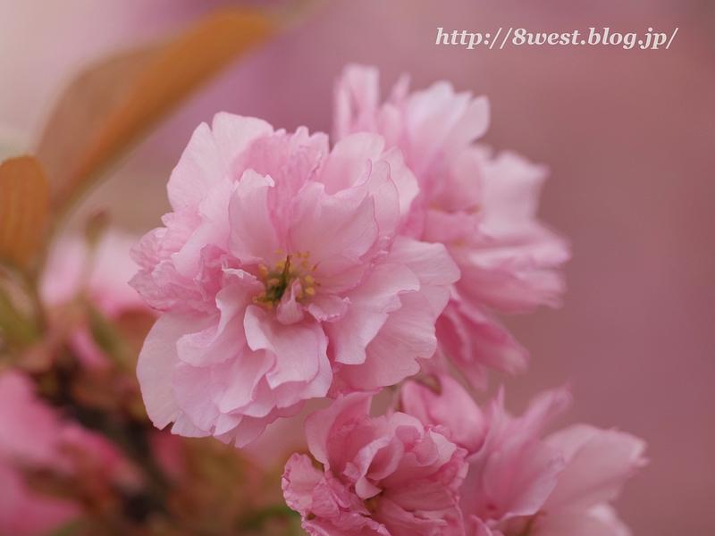 八重桜04