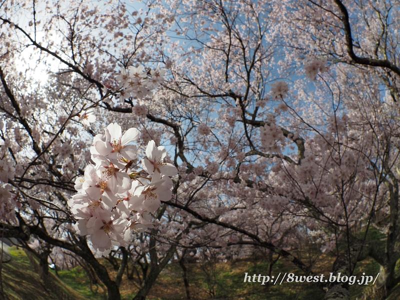 高遠桜38