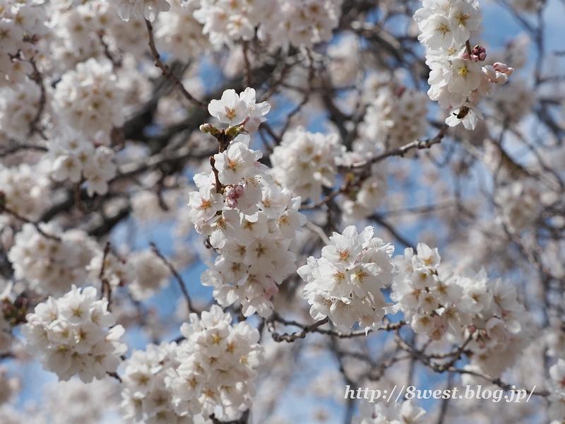 天空一本桜32