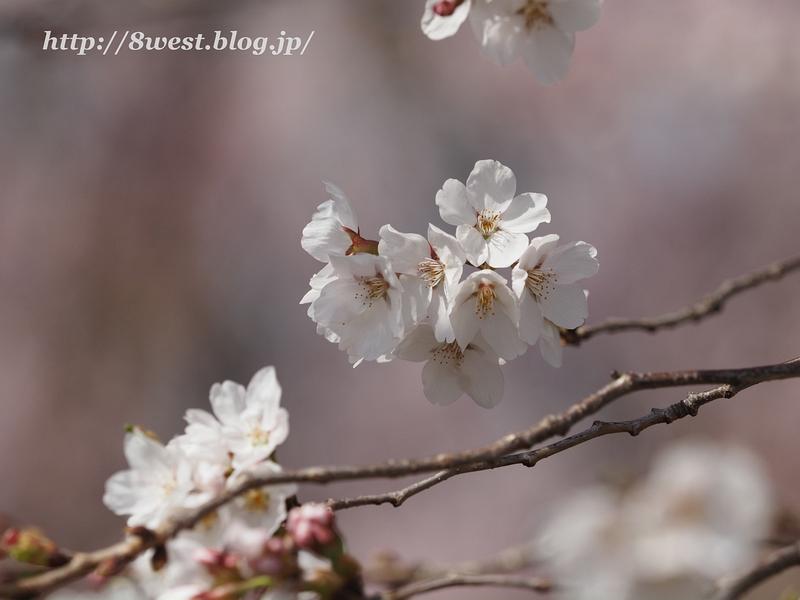 北熊井城址の桜10