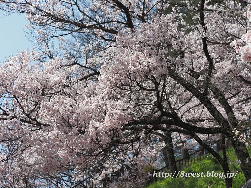 高遠桜06