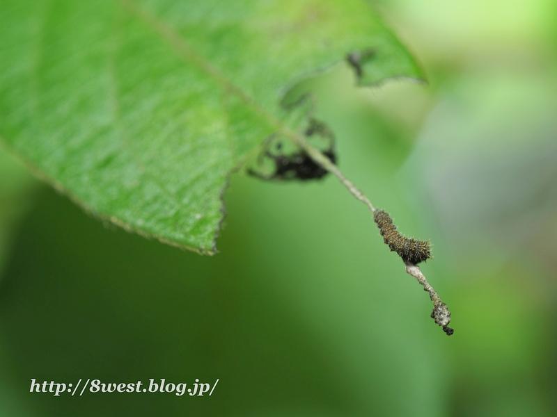イチモンジチョウ幼虫22