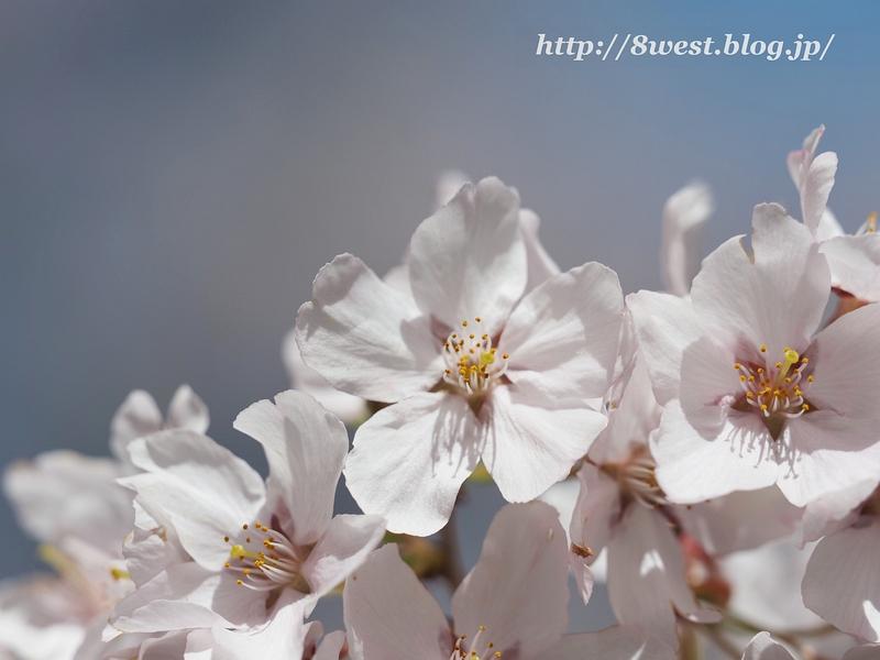 高遠桜03