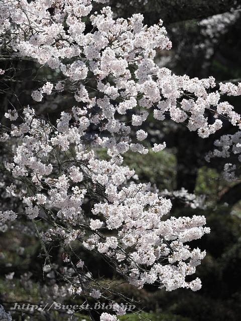 無量寺の桜22