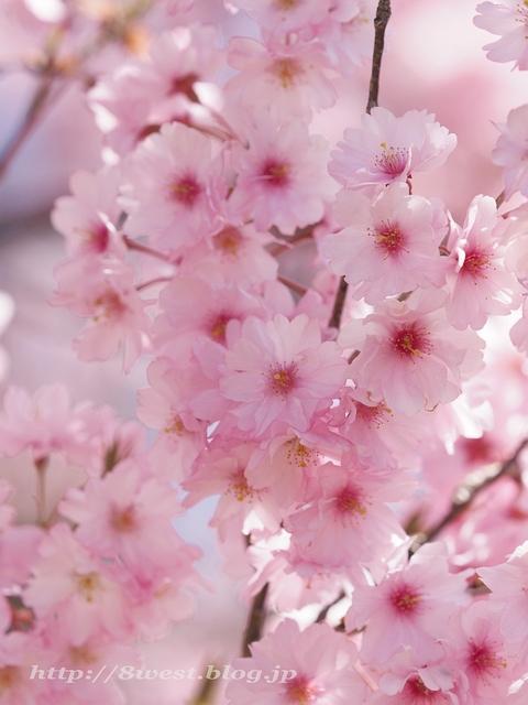 無量寺の桜17