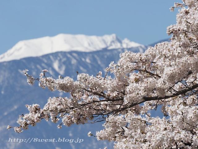 日輪寺の桜04