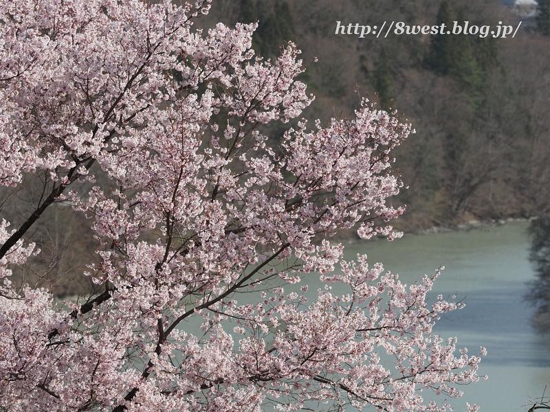 高遠桜46
