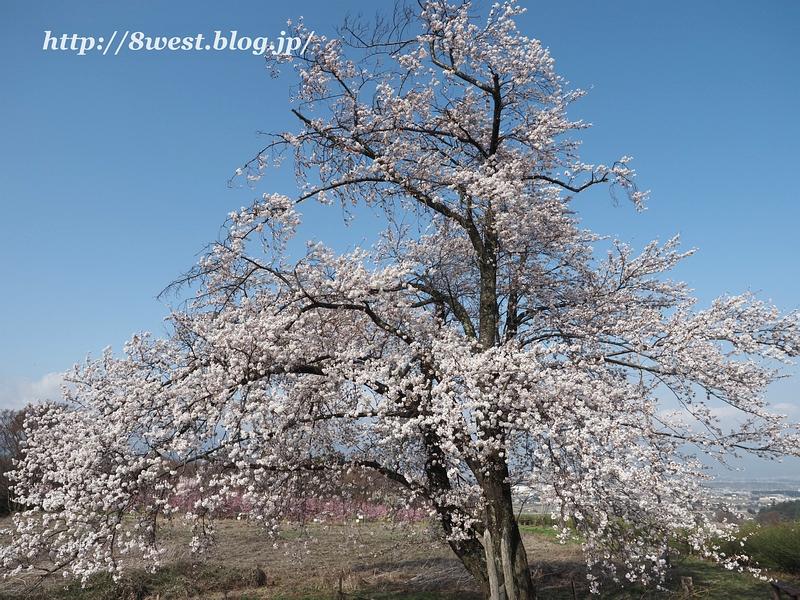 天空一本桜06