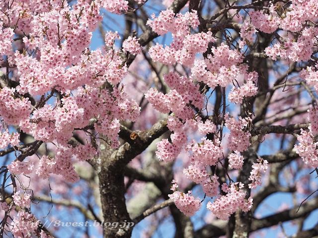 上ノ平の桜14