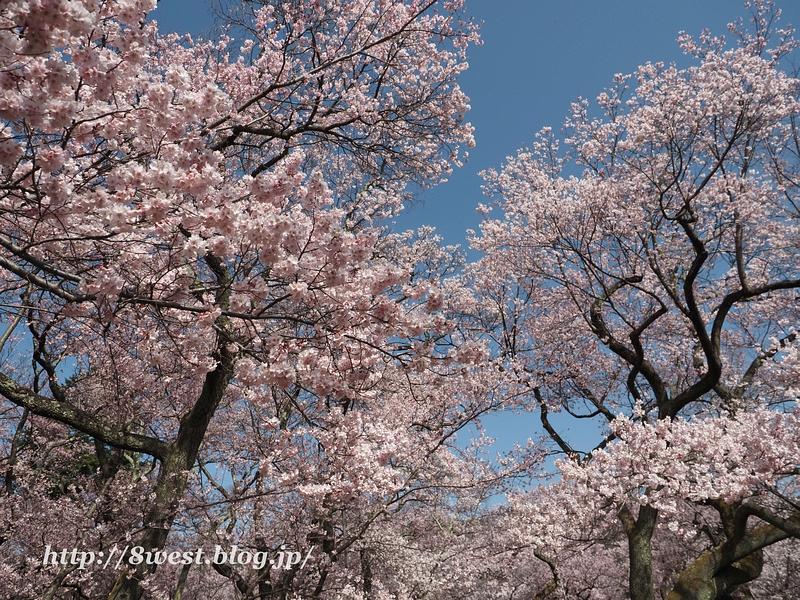 高遠桜29