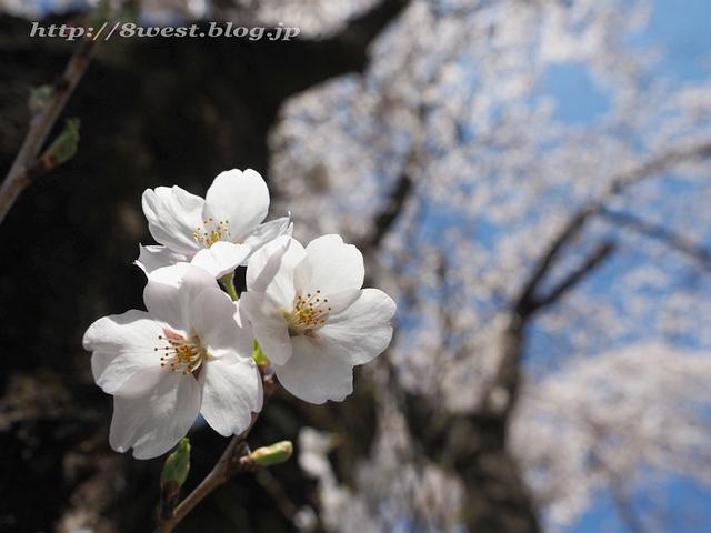 無量寺の桜15