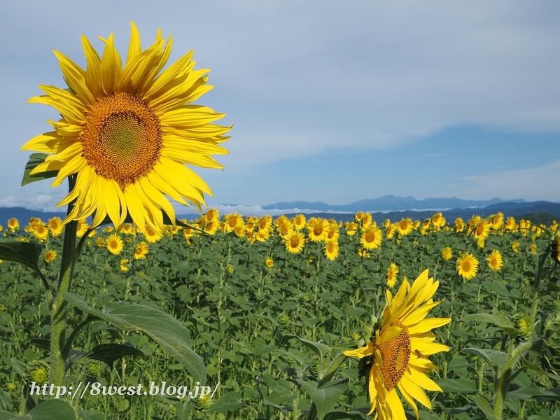向日葵と北アルプス1