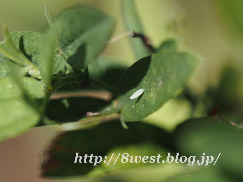 ヒメシロ卵1
