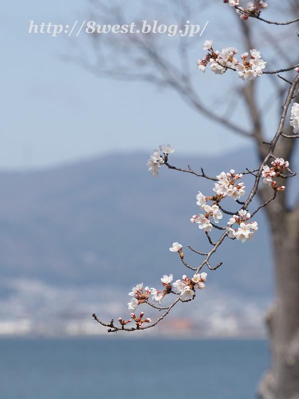 諏訪湖畔の桜5