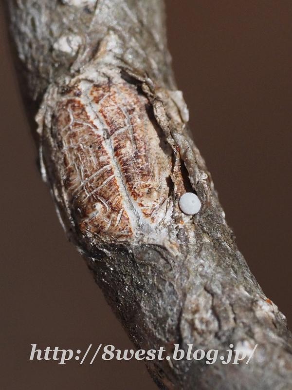 オオミドリシジミ2