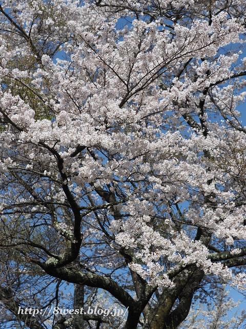 井戸尻桜01