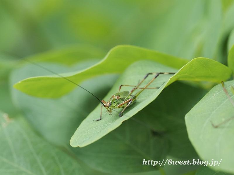 アシグロツユムシ幼虫1