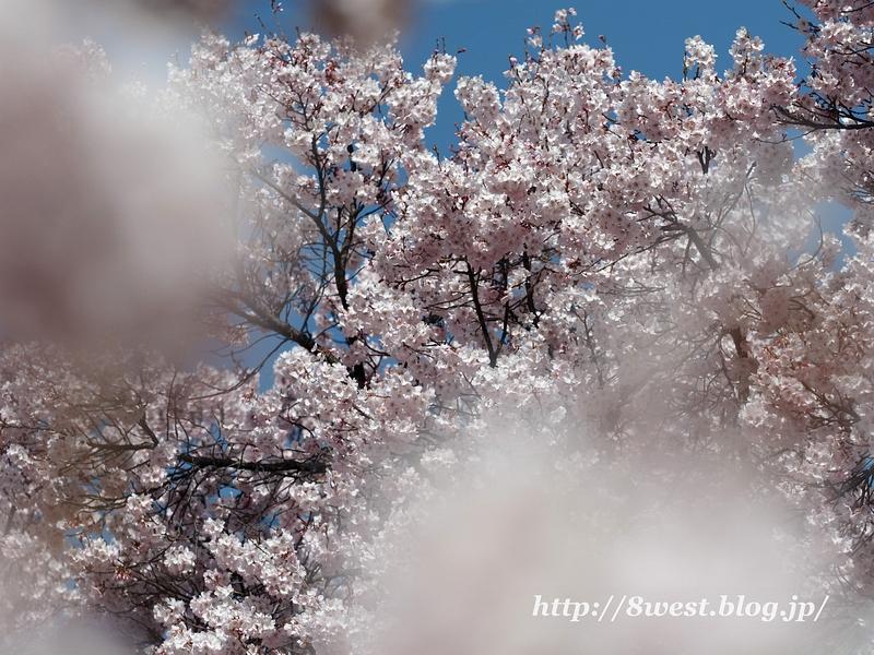 高遠桜17