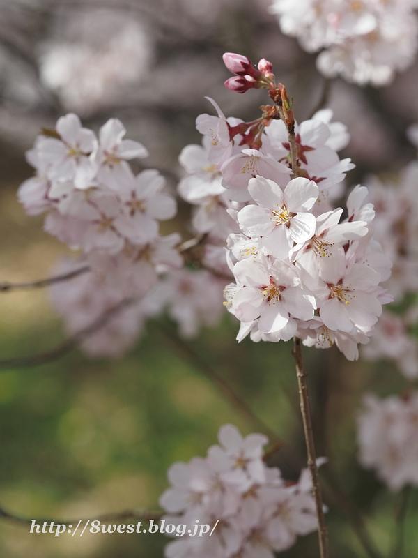 高遠桜40