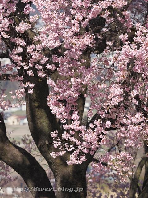 上ノ平の桜02