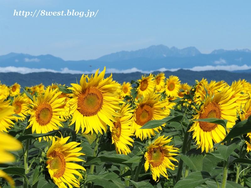 向日葵と穂高連峰