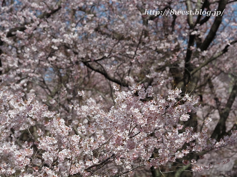 高遠桜21