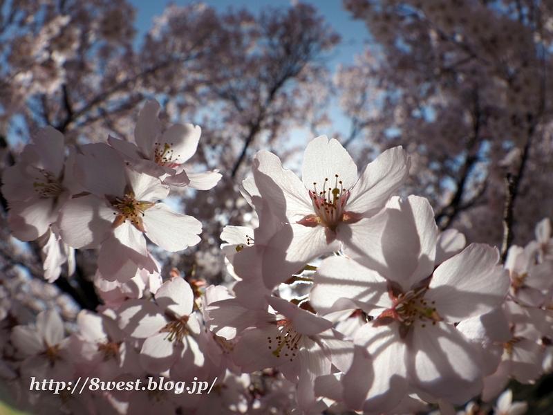 高遠桜36