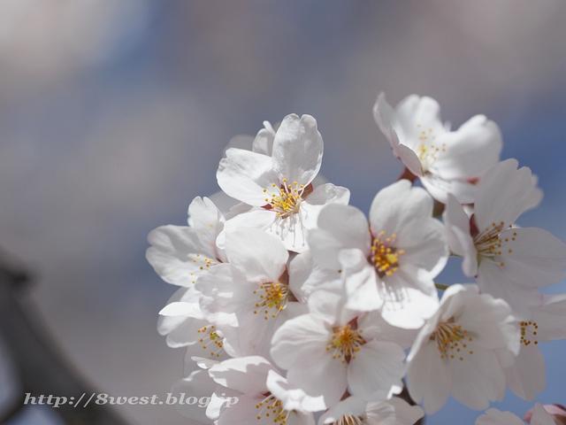 無量寺の桜16