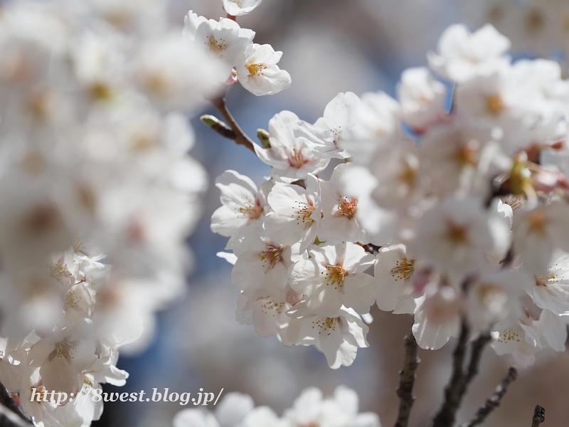御野立桜09