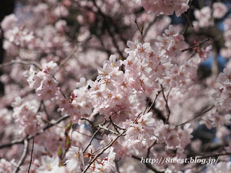 高遠桜18
