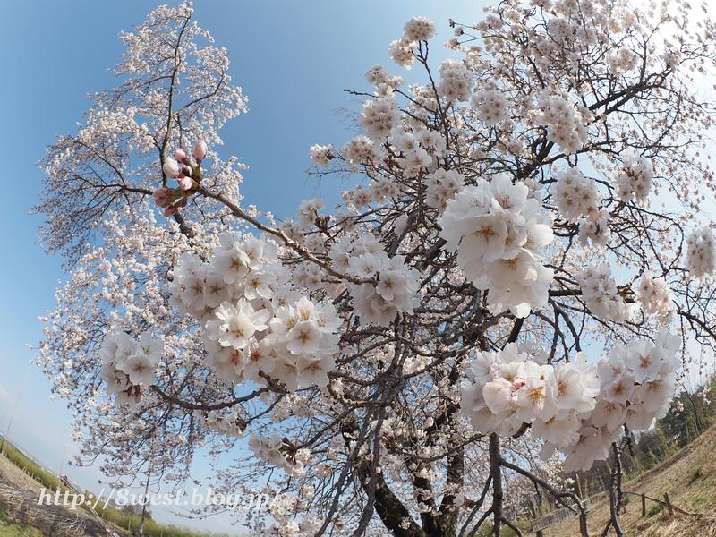 天空一本桜15