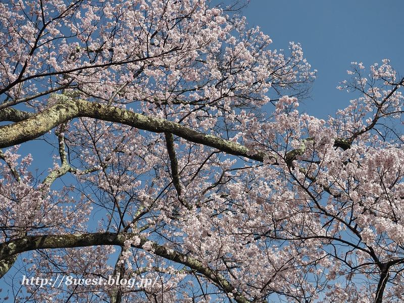 高遠桜32