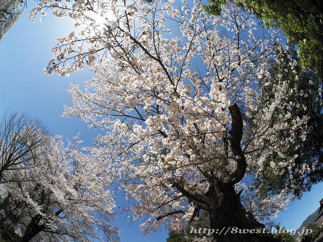 無量寺の桜05