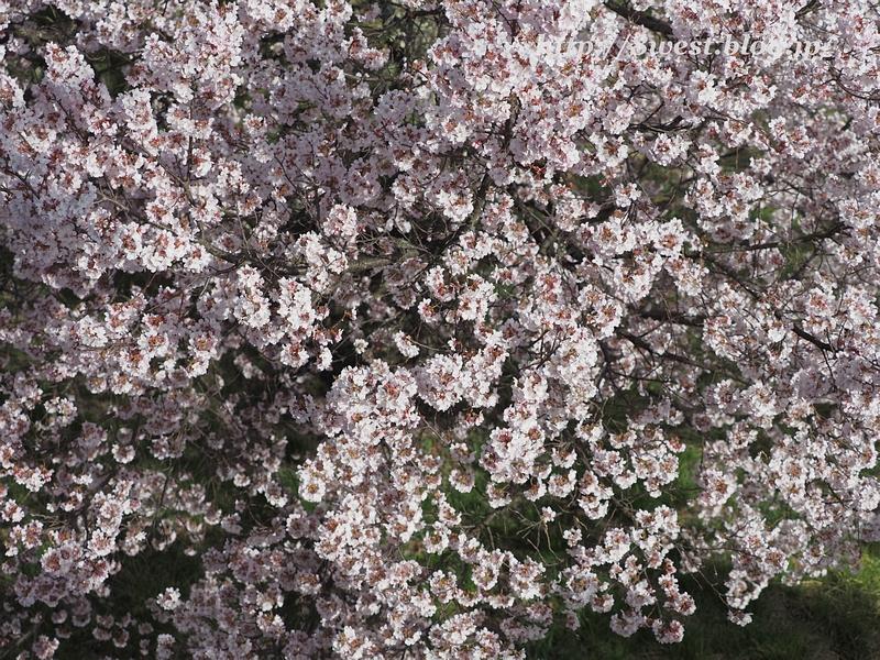 高遠桜49