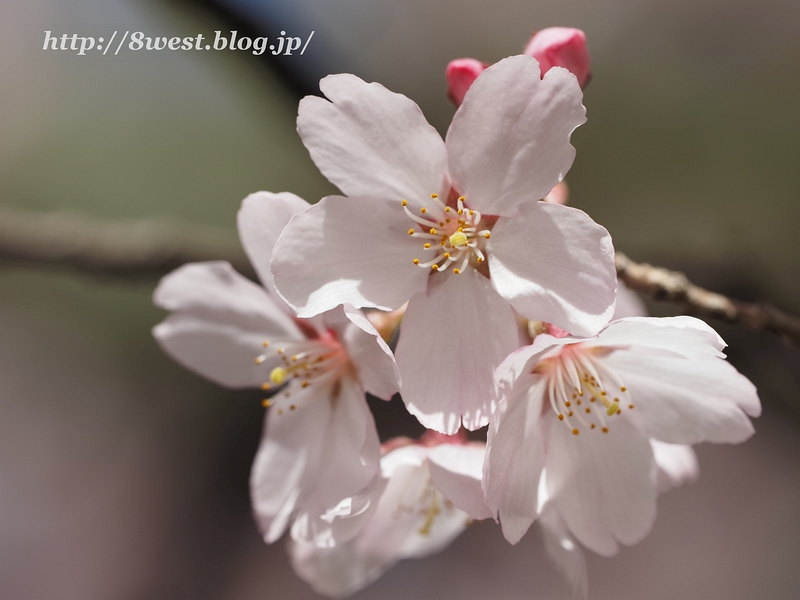 高遠桜16