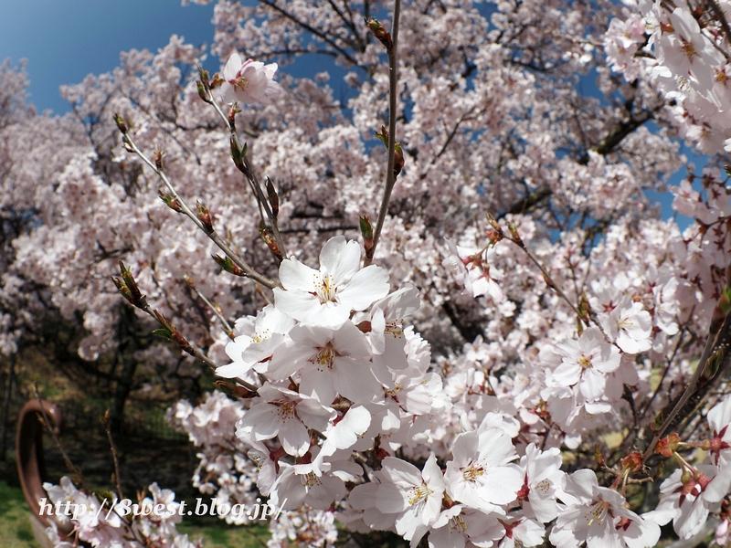 高遠桜11