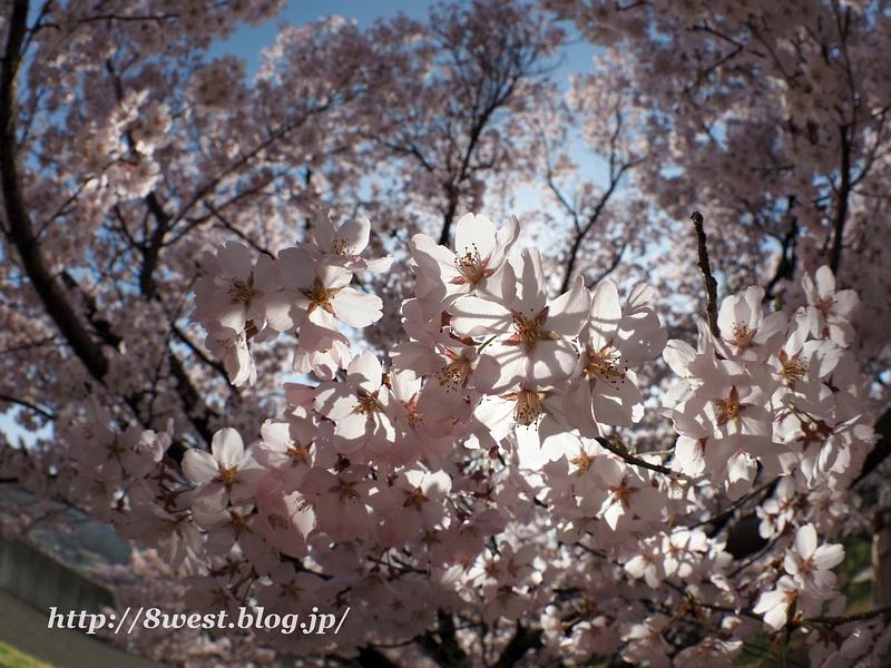 高遠桜35