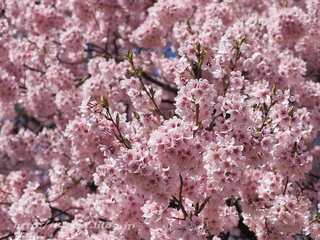 上ノ平の桜10