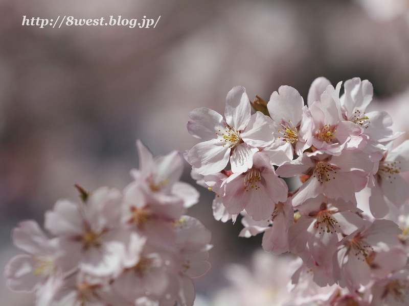 高遠桜19