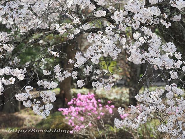 無量寺の桜20