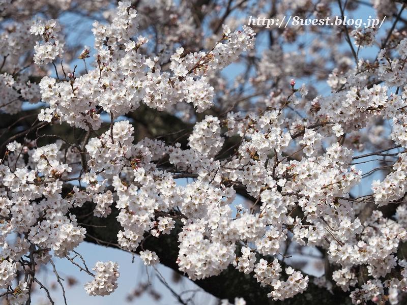 天空一本桜05